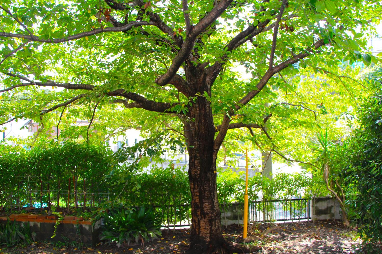 リビングから見える庭の桜。春は桜咲き、夏秋は緑が生い茂り、冬は葉がなく光が差し込み暖かさを感じます。家にいながら、春夏秋冬の移り変わりを体感することができます。
